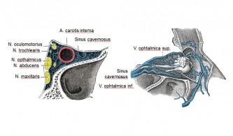 Anatomische Situation im Bereich des Sinus cavernosus und im Orbitatrichter